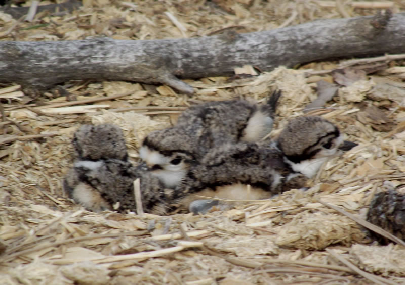 baby killdeer in nest