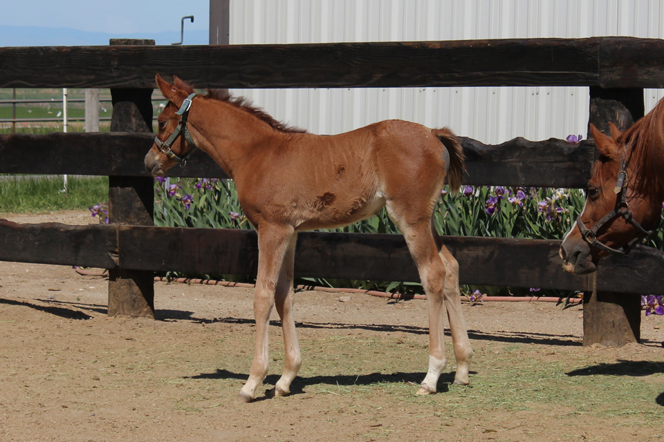 Chestnut Filly (Belesemo Image x Belesema Excella)