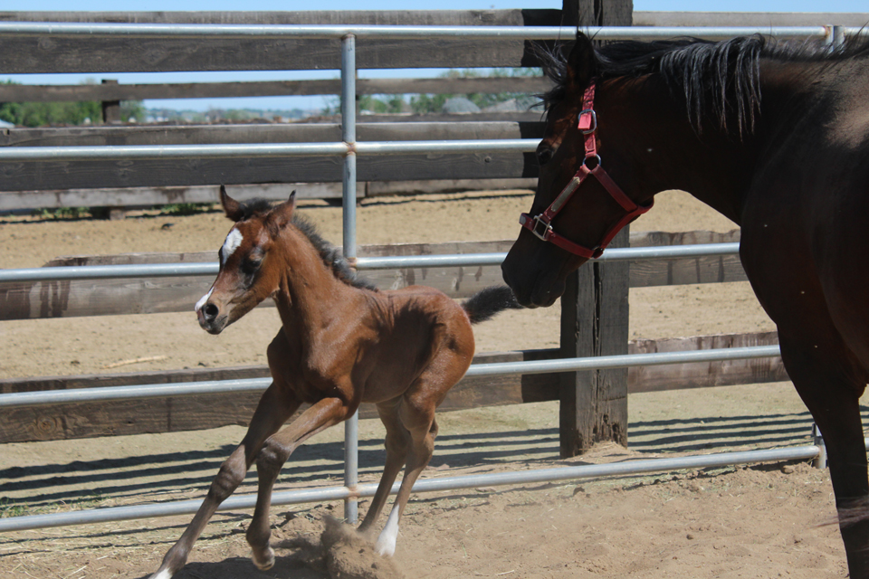 Bay Filly (Sanskrit x Belesema Khany Khiss)